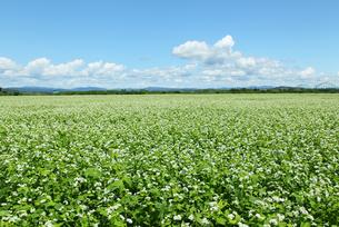 蕎麦畑の写真素材 [FYI00336628]