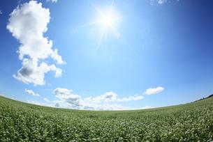 蕎麦畑の写真素材 [FYI00336645]
