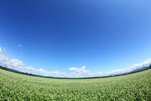蕎麦畑の写真素材 [FYI00336647]