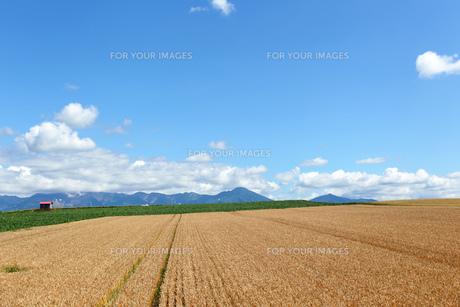 麦畑の写真素材 [FYI00336659]