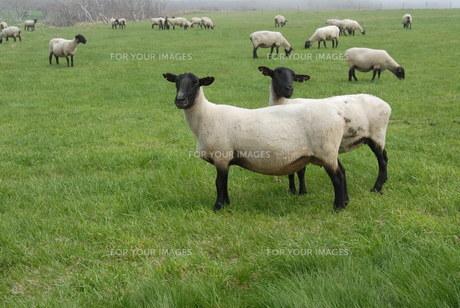 焼尻島のめん羊牧場の素材 [FYI00336675]