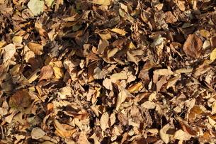 枯れ葉の写真素材 [FYI00336689]
