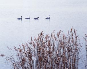 白鳥の群れの写真素材 [FYI00336763]