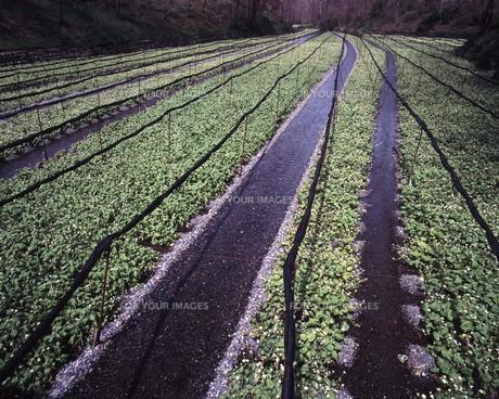 大王ワサビ農場の春の素材 [FYI00336806]