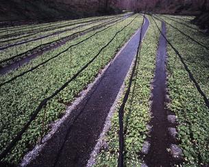 大王ワサビ農場の春の写真素材 [FYI00336806]