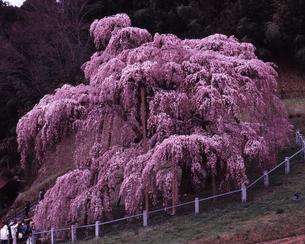 滝桜満開の写真素材 [FYI00336914]