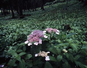 アジサイの咲く頃の写真素材 [FYI00336919]