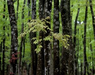 新緑の美人林の写真素材 [FYI00336951]