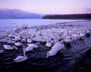 屈斜路湖の白鳥の素材 [FYI00336969]