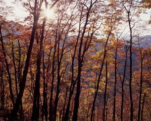 月夜見山の紅葉の写真素材 [FYI00337137]