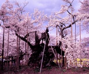満開の山高神代桜の素材 [FYI00337176]