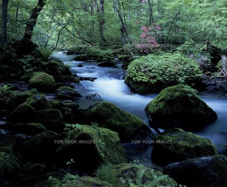 ツツジ咲く奥入瀬渓流の素材 [FYI00337195]