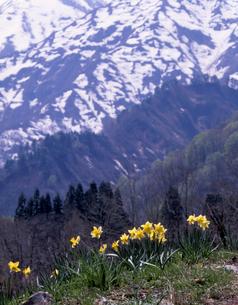 水仙と飯豊連峰の写真素材 [FYI00337301]