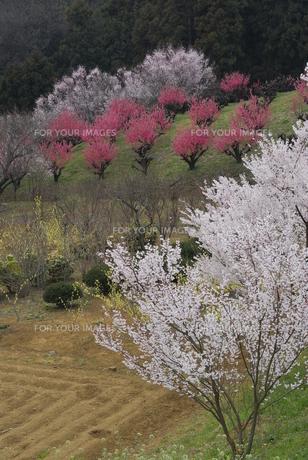 花桃の丘の素材 [FYI00337392]