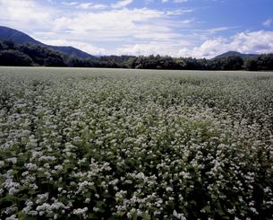 ソバの花満開の写真素材 [FYI00337411]
