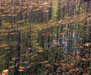 新緑写す池面の写真素材 [FYI00337511]