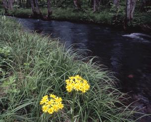サワオグルマの河原の写真素材 [FYI00337539]