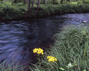 初夏の長瀬川の写真素材 [FYI00337543]