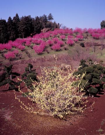 陽春の花桃の丘の素材 [FYI00337617]