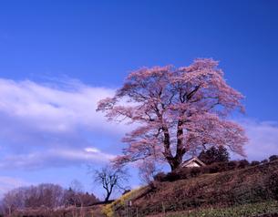 陽春の天神桜の写真素材 [FYI00337665]