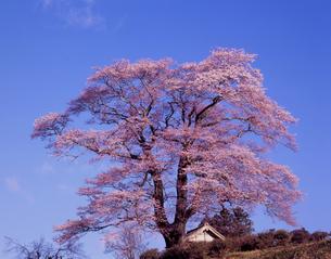 満開の天神桜の写真素材 [FYI00337668]