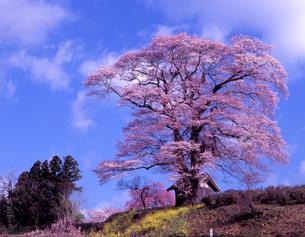 陽春の天神桜の写真素材 [FYI00337670]
