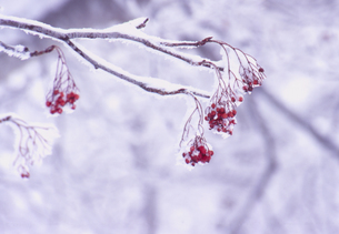 凍る木の実の素材 [FYI00337709]