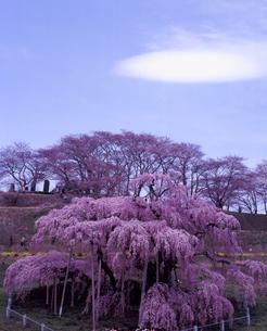 滝桜の写真素材 [FYI00337721]