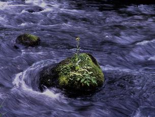 一本のサワオグルマの写真素材 [FYI00337747]