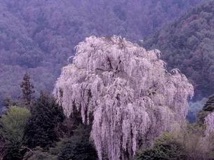 田多井のしだれ桜の写真素材 [FYI00337774]