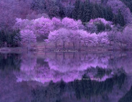 中綱湖の桜の素材 [FYI00337785]
