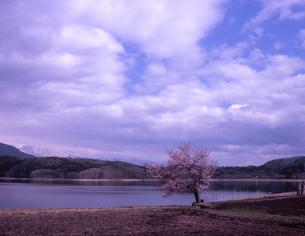 青木湖畔の一本桜の素材 [FYI00337875]