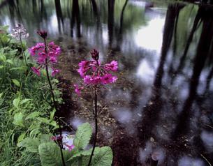 水辺のクリンソウの写真素材 [FYI00337882]