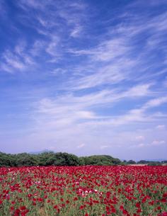 五月晴のポピー畑の写真素材 [FYI00337941]