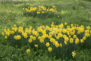 黄色い水仙の写真素材 [FYI00338199]