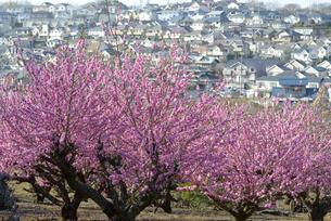 住宅街に咲く桃花の写真素材 [FYI00338212]