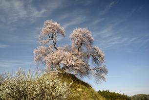 平堂壇の桜の写真素材 [FYI00338221]