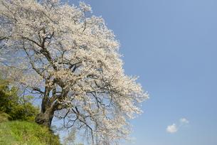 光岩寺の桜の写真素材 [FYI00338226]