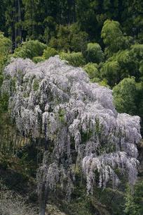 福聚寺のシダレ桜の写真素材 [FYI00338253]