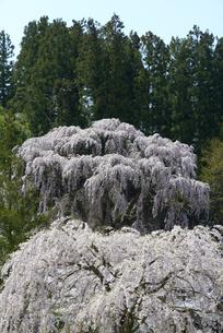 福聚寺の枝垂桜の写真素材 [FYI00338254]