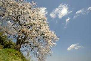光岩寺の桜の写真素材 [FYI00338257]