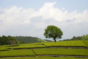 茶園の一本木の写真素材 [FYI00338270]