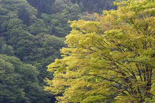 ケヤキの新緑の写真素材 [FYI00338298]