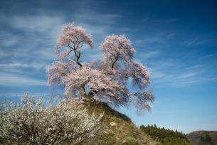 平堂壇の桜の写真素材 [FYI00338341]