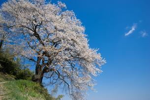 光岩寺の桜の写真素材 [FYI00338358]
