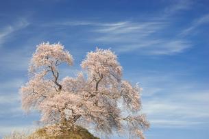 平堂壇の一本桜の写真素材 [FYI00338388]