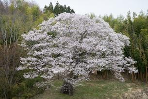 三春の大桜の写真素材 [FYI00338408]