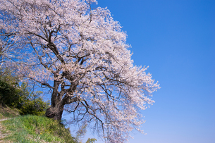 光岩寺の桜の写真素材 [FYI00338475]
