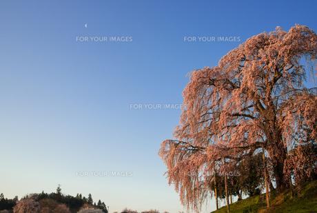朝日に映える合戦場のしだれ桜の写真素材 [FYI00338495]