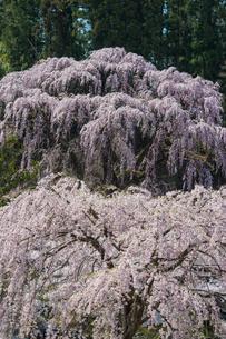 福聚寺のしだれ桜の写真素材 [FYI00338516]